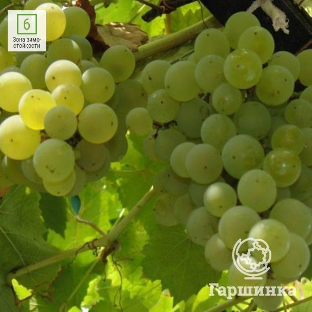 Тонкости выращивания высокоурожайного винограда столового сорта алешенькин