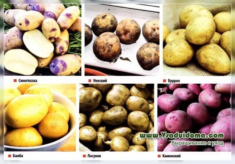 """Картофель """"синеглазка"""": описание сорта, фото и характеристики корнеплода картошки"""