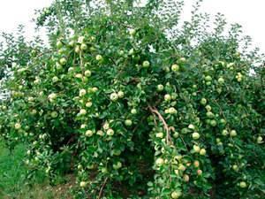 Карликовые яблони: топ-23 лучших сорта, описание и фото | +отзывы