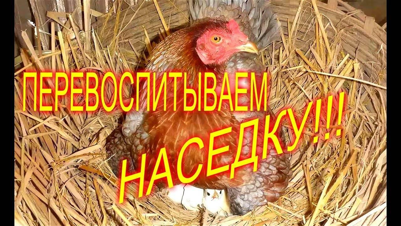 Почему курица на гнезде кудахчет а яйца не несет