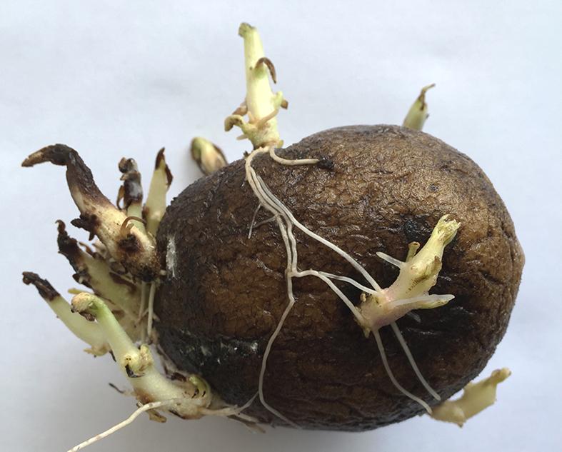 Обработка картофеля перед посадкой от болезней