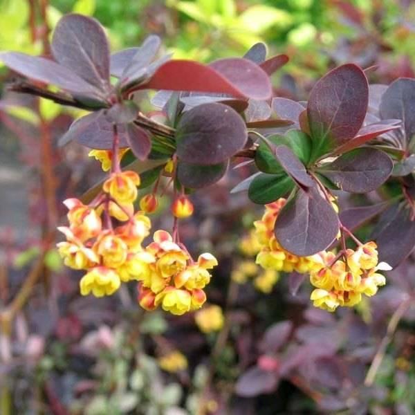 Правила посадки и выращивания барбариса оттавского