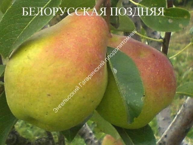 Описание сорта груши белорусская поздняя