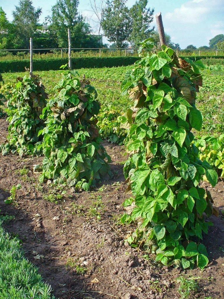 Выращивание фасоли – когда и где проводить посадку, подготовка бобов, особенности выращивания