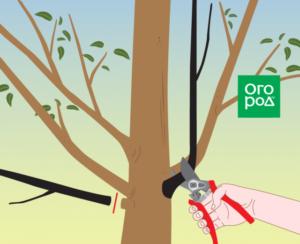 Когда и как правильно обрезать грушу: схема формирования кроны деревьев