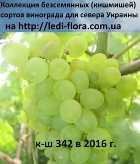 Сорт винограда кишмиш 342: описание и особенности