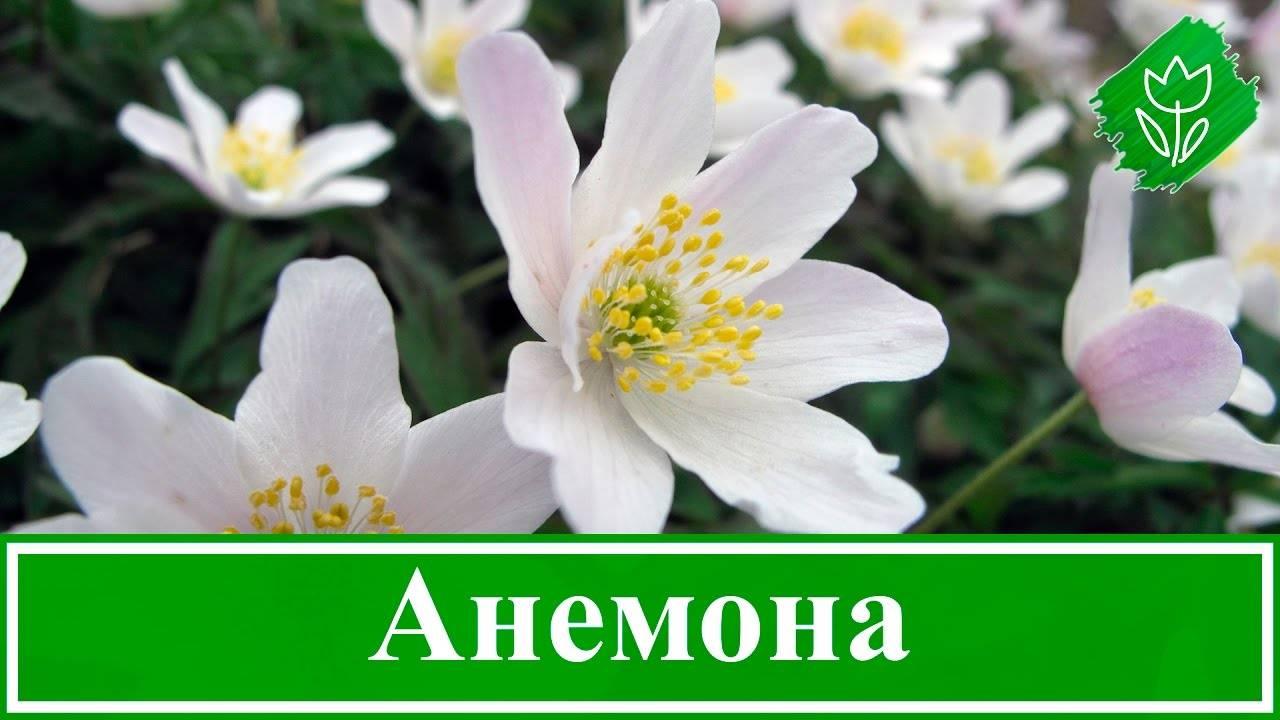 Как выращивать анемоны, как ухаживать за анемонами в открытом грунте