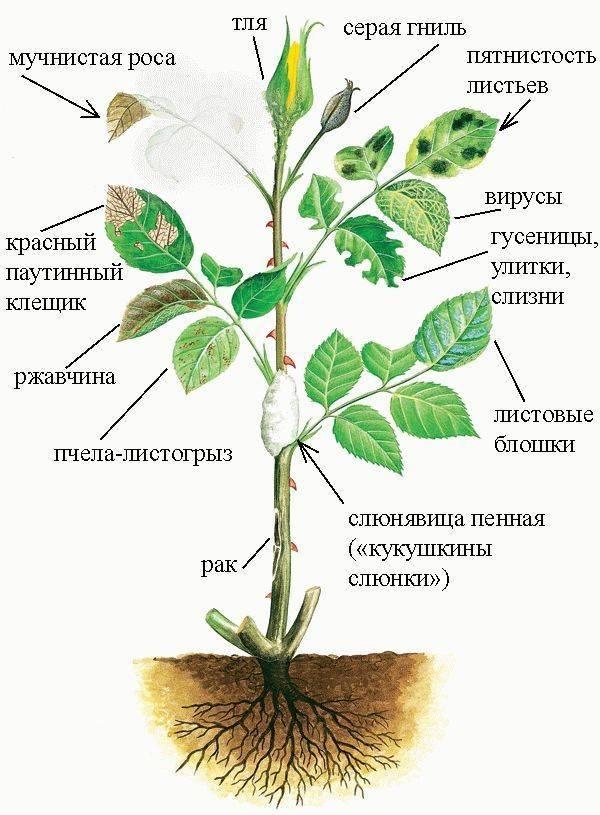 10 распространенных болезней роз: описание и лечение