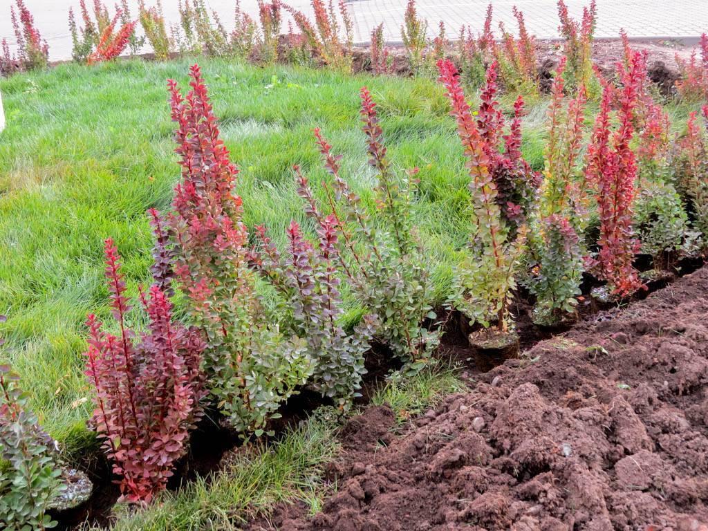 Как посадить барбарис весной: описание свойств, выращивание саженцев, уход