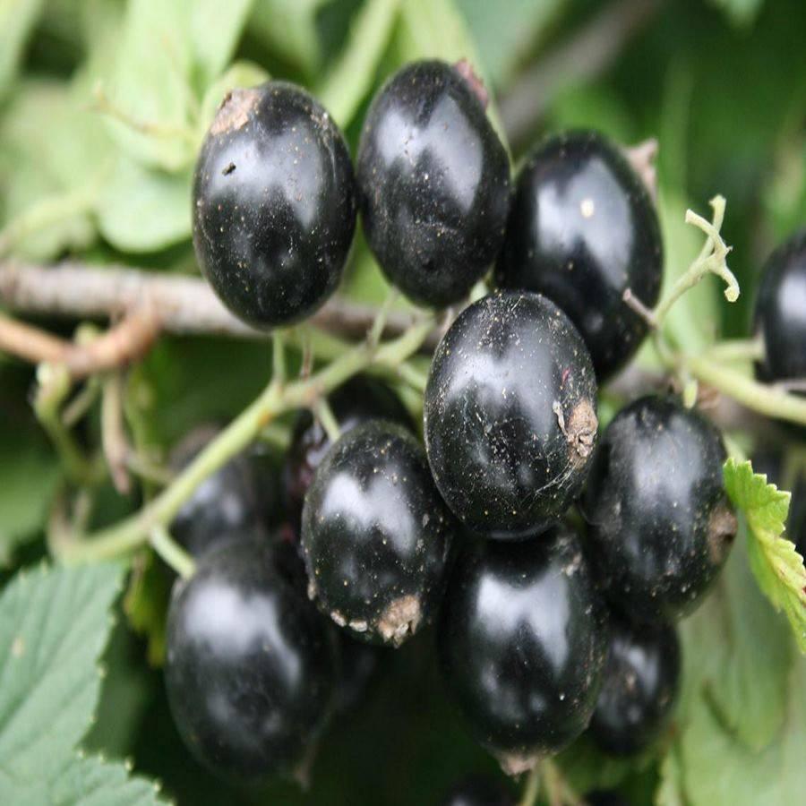 Описания лучших сортов черной смородины и регионы их выращивания