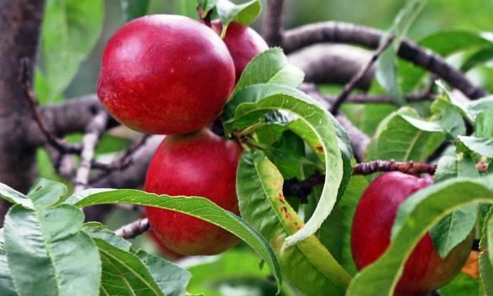 Нектарин и персик, описание, сравнение полезных свойств фруктов