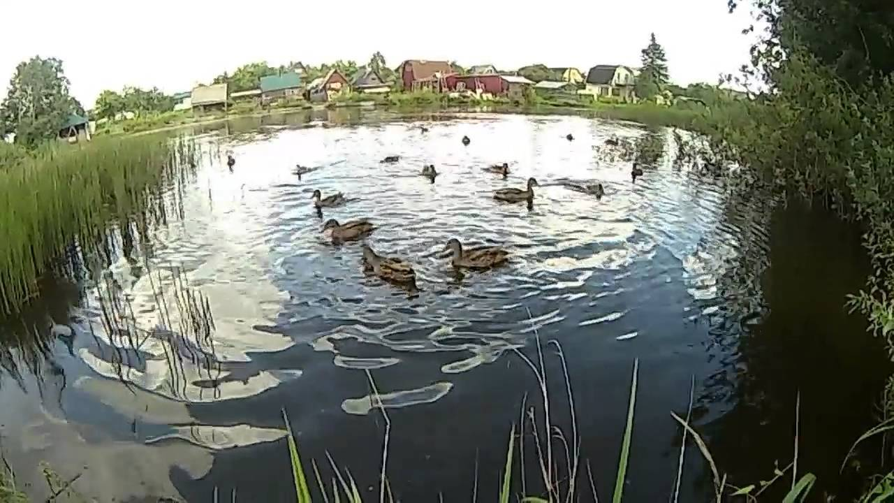 Чем кормить диких уток: на пруду, в парке, в домашних условиях