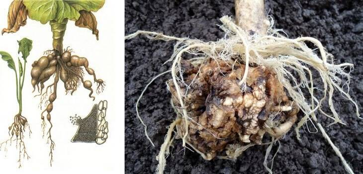 Как избавиться от килы капусты