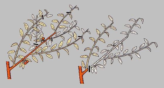 Как правильно обрезать персик на протяжении года