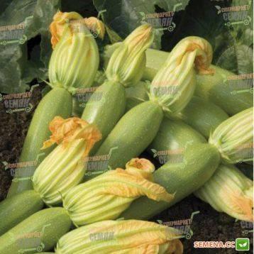 Посадка кабачков семенами в открытый грунт: сроки посева и правила выращивания