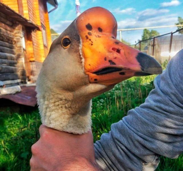 Незаразные болезни гусей
