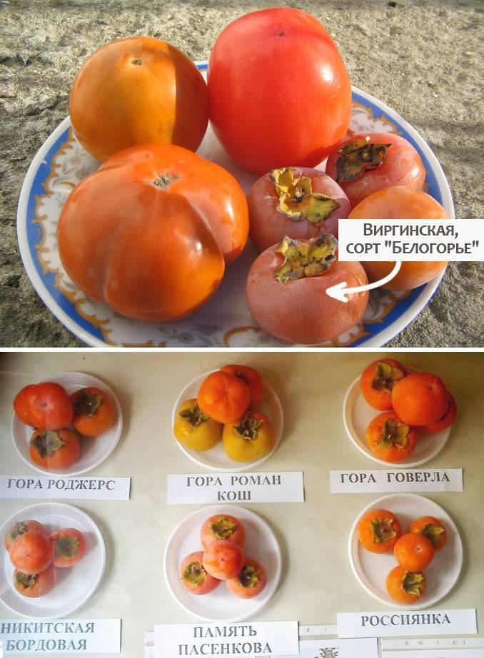 Хурма — выращивание из косточки в домашних условиях, советы, рекомендации