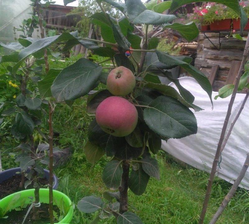 Почему не растет яблоня?