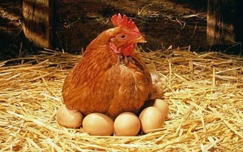 Как давать мел курам и цыплятам, в каком количестве