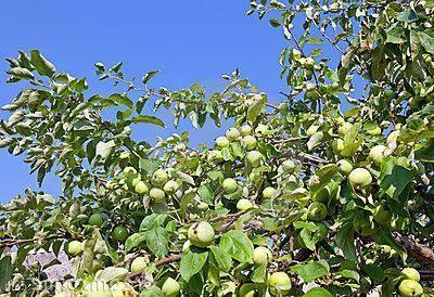 Сорт яблок белый налив: характеристики и посадка