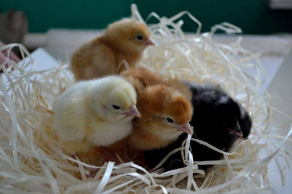 Понос у цыплят бройлеров: причины и методы лечения