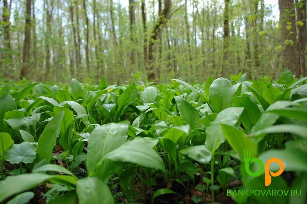 Черемша. полезные свойства и противопоказания. где растет, как выглядит. фото