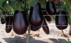 Баклажаны и перец в одной теплице: можно ли выращивать, правила посадки