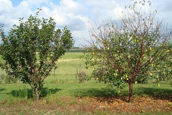 Не устойчивый к холодам сорт вишни молодежной