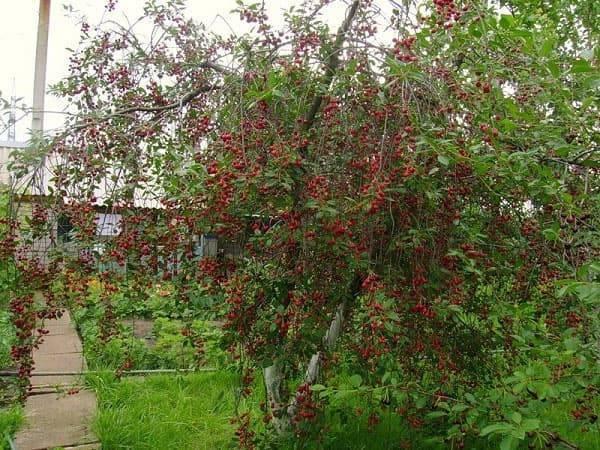 Посадка вишни рядом с яблоней, грушей, сливой