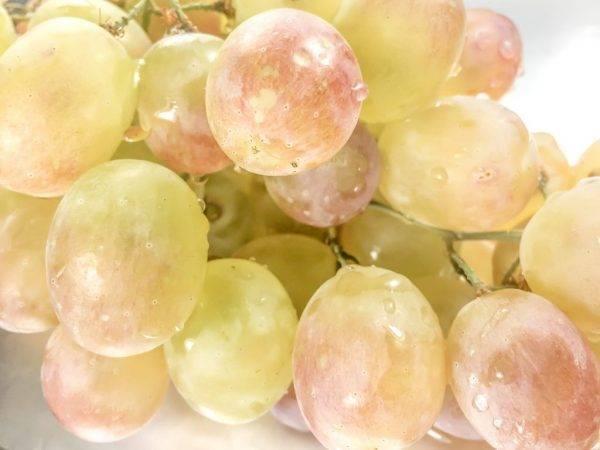 Виноград русский ранний: описание сорта с фото, его особенности и характеристик