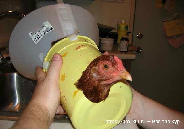 Что делать если курица не может снести яйцо