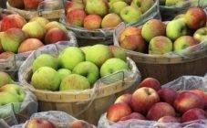 Выбираем сорта яблони для северо-запада россии