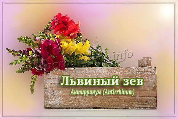 Антирринум (львиный зев): описание, размножение и выращивание - энциклопедия цветов