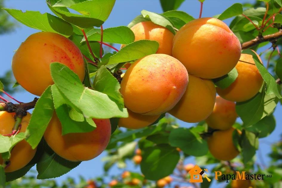 Посадка абрикоса: когда и как сажать абрикос (пошаговая инструкция, схема)