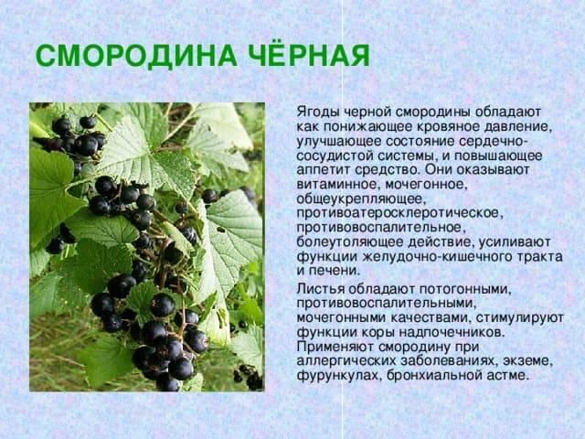 Черная смородина катюша