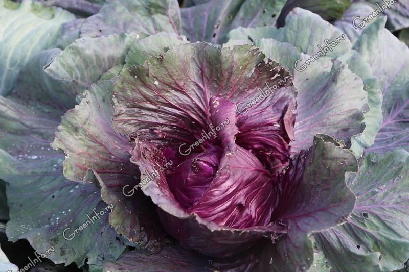 Капуста: выращивание из семян на огороде
