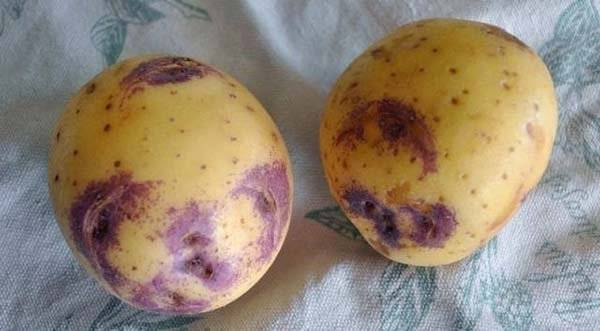 Картофель синеглазка: идеальный среднеспелый сорт для вашего участка