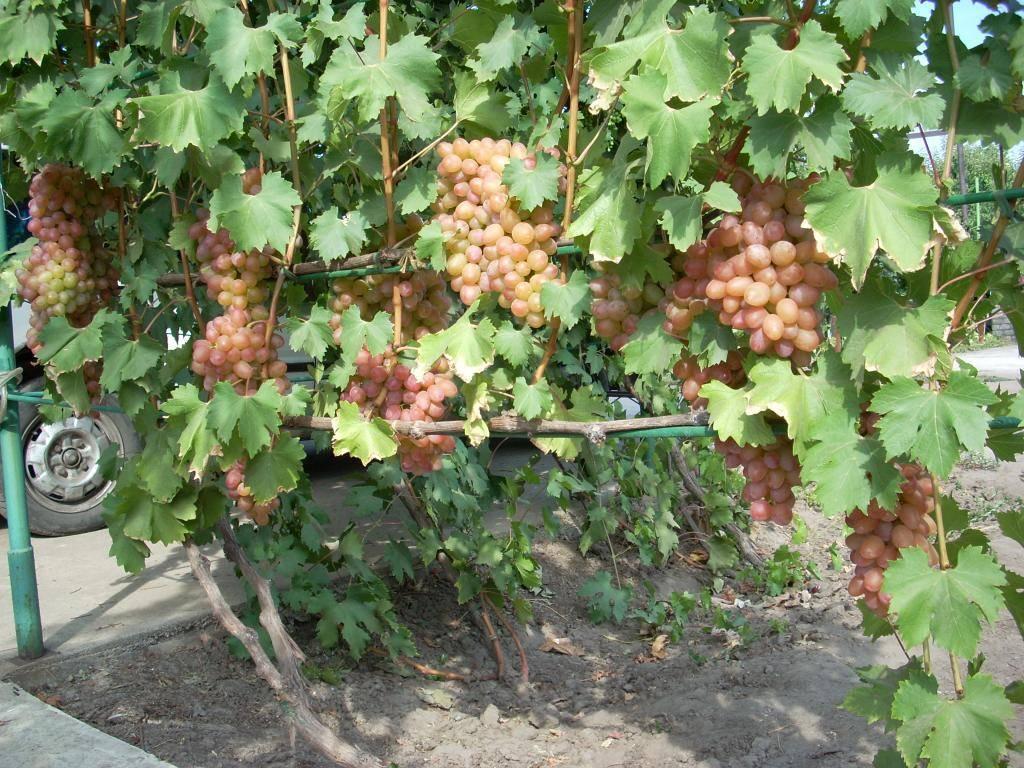 Виноград сорта гелиос: нежно-розовое чудо с тонким мускатным оттенком