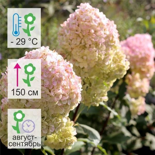 Гортензия метельчатая мэджикал свит саммер фото описание