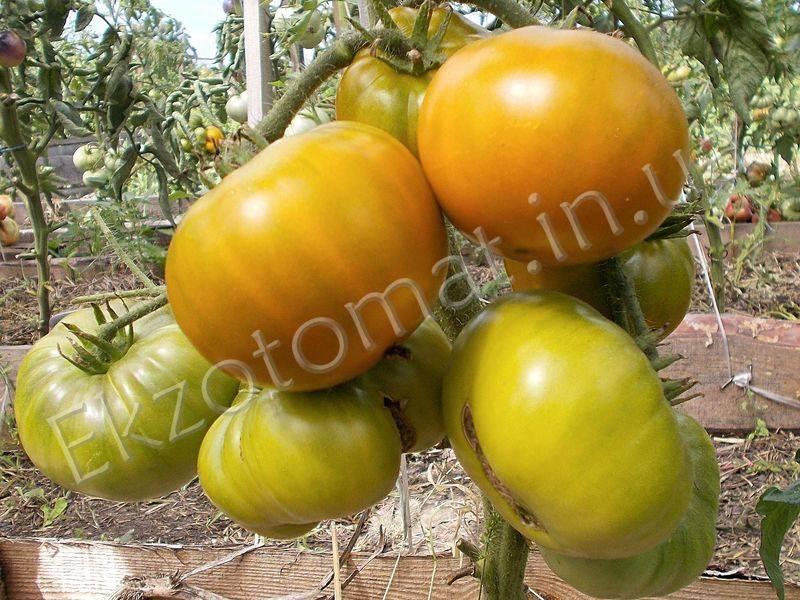 Томат болото: характеристика сорта, урожайность, отзывы