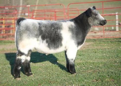 Самые странные и редкие породы коров