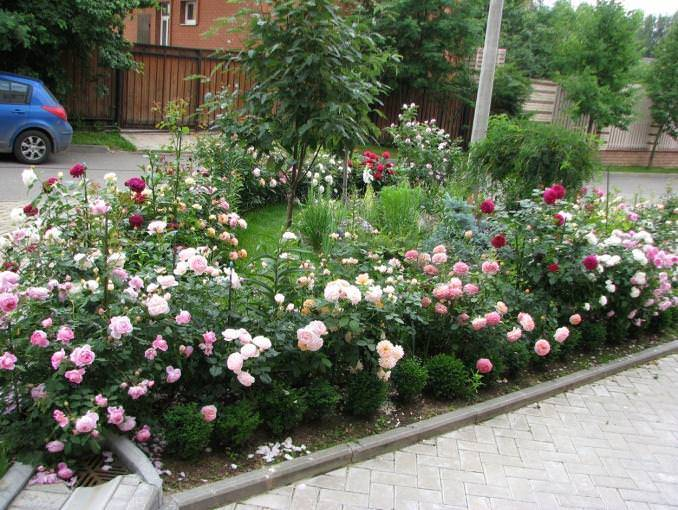 Черенкование роз осенью в домашних условиях: размножение цветка этим методом, нюансы разведения в квартире и как посадить, укоренить и вырастить культуру в горшке?