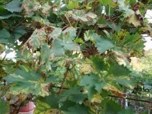 Почему закручиваются листья у помидор: решаем проблему