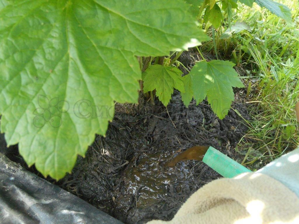 Подкормка смородины весной: советы садоводов