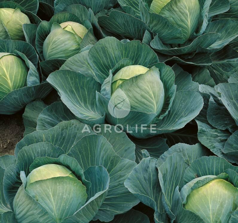 Капуста атрия: 8 особенностей и 12 советов по выращиванию и уходу