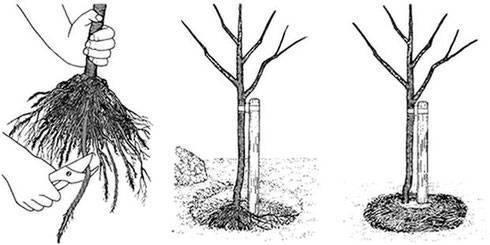 Как вырастить сливу из косточки: в домашних условиях инструкция, правила подготовки, высадки и ухода