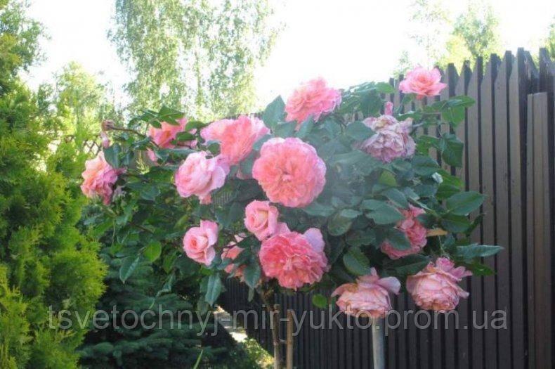 Роза августа луиза — тайные письма гетте