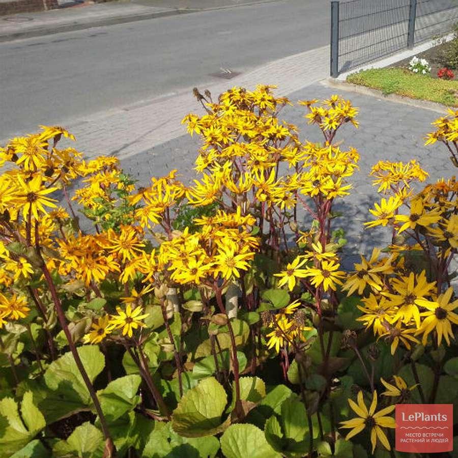 Бузульник зубчатый —цветущий кустарник на садовом участке