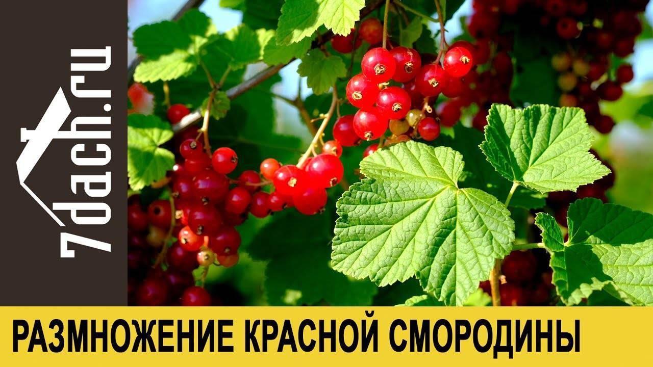Красная смородина: посадка и уход, сорта, размножение и борьба с вредителями