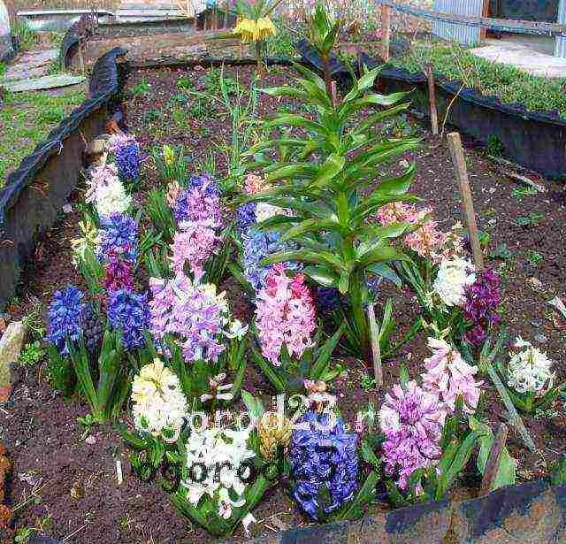 Выкапывание гиацинтов по окончанию периода цветения: обязательно ли убирать